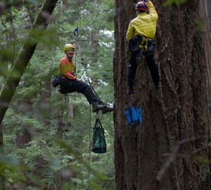 Reese Næsborg and Cameron Williams of UC Berkeley climbing an old-growth Douglas fir. Photo by Tonatiuh Trejo-Cantwell