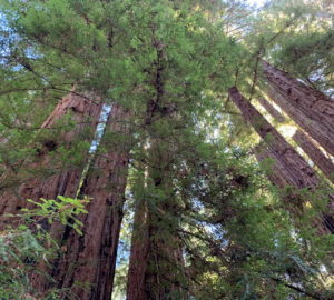 View of a redwood forest canopy from the forest floor