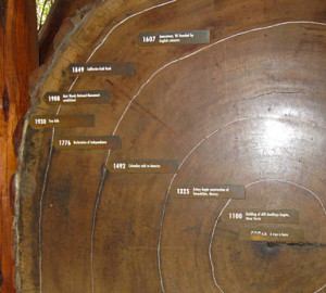 Visitors to Muir Woods can see the dates of redwood tree rings.Visitors to Muir Woods can see the dates of redwood tree rings.