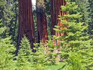 Giant sequoias in Mariposa Grove, Yosemite.