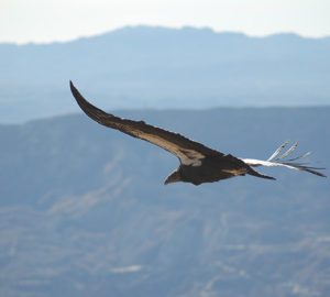 California condor. Pacific Southwest Region USFWS, Flickr Creative Commons