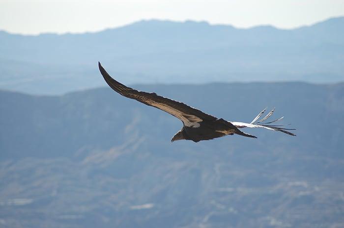 California condor. Pacific Southwest Region USFWS, Flickr Creative Commons