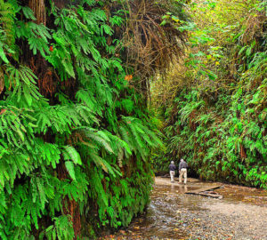 Fern Canyon at Prairie Creek Redwoods State Park. Photo by Kirt Edblom, Flickr Creative Commons
