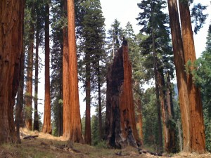 A sequoia grove after fuels reduction.