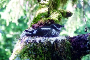 Marbled murrelet nest. Photo by Tom Hamer