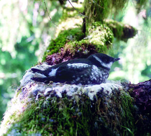 Marbled murrelet nest. Photo by Tom Hamer
