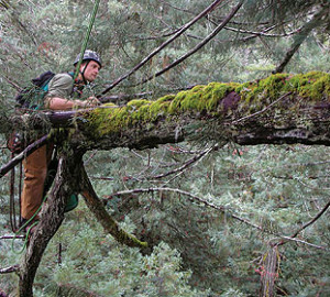 RCCI scientist, Stephen C. Sillett, on a branch. Photo by Marie Antoine