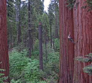 Researcher Wendy Baxter climbs a fixed rope up into a 86.6m-tall giant sequoia tree at Calaveras Big Trees State Park. Photo by Anthony Ambrose