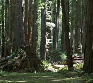 Jedediah Smith Redwoods State Park.