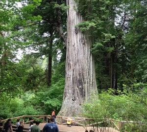 """""""Big Tree"""" in Prairie Creek Redwoods State Park."""