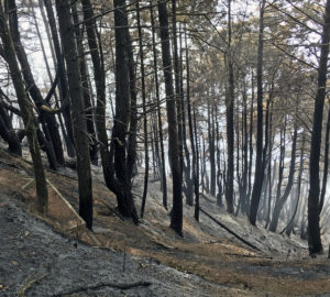 A stand of trees, mostly Douglas fir, burned by the Usal Fire this week on Shady Dell. Photo by Richard Campbell