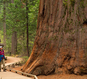 Giant sequoia in North Grove, Calaveras Big Trees State Park, Ebbetts Pass National Scenic Byway, California. Photo by age fotostock / Alamy