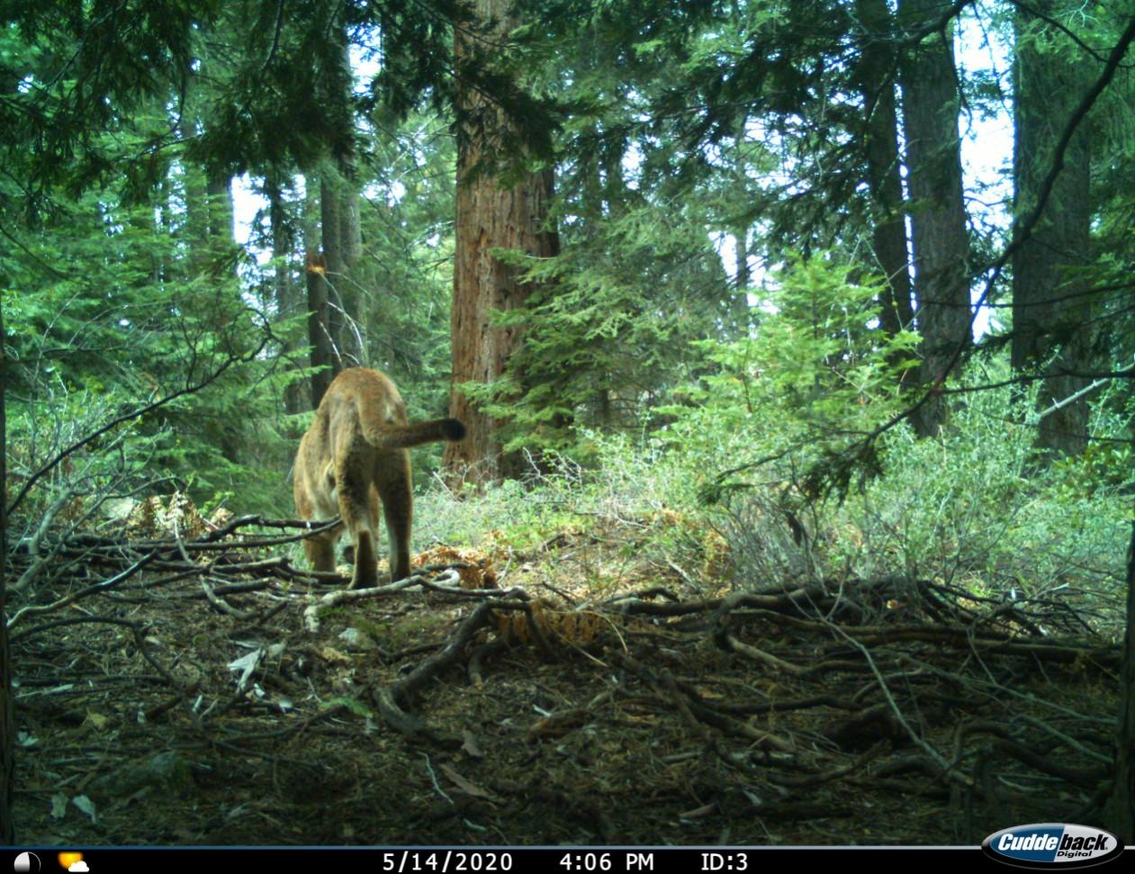 A wildife camera trap catches a glimpse of a mature mountain lion from behind as it makes its way through a redwood forest.
