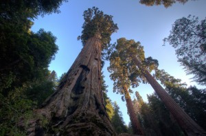 Redwoods and sequoias, like these, easily grow hundreds of feet tall. Photo courtesy of Bob Wick.