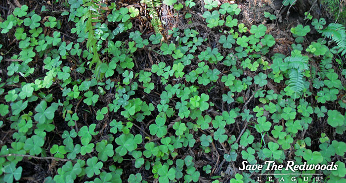 Redwood sorrel often covers the forest floor.