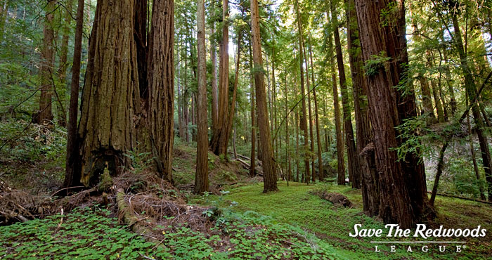 A redwood forest understory. Photo by Paolo Vescia
