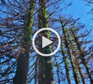Coast redwoods are recovering from fire damage