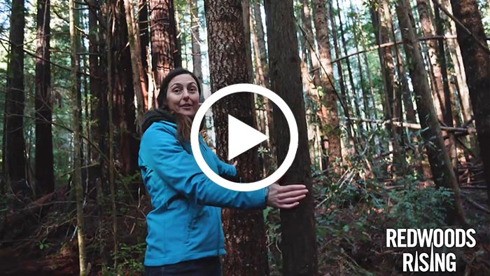 Redwoods Rising is rebuilding an ancient forest