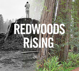 Webinar on Friday: Redwoods Rising — rebuilding California's iconic forests