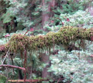 Epiphytic mushrooms and moss growing on a redwood branch. Photo by Steve Sillett