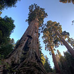 giant-sequoia-case-mtn-bob-wick-thumb