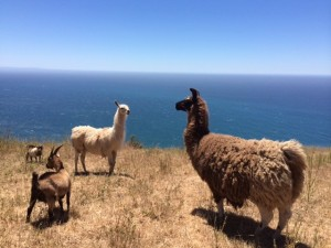 Two guard-llamas protect the goats from predation.