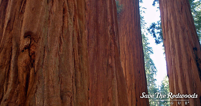 Giant sequoia bark.