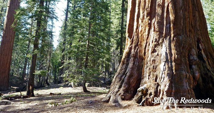 Giant sequoias live among other pines and firs in California's Sierra Nevada.