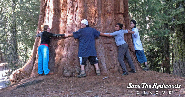 It takes lots of people to hug the biggest giant sequoias!