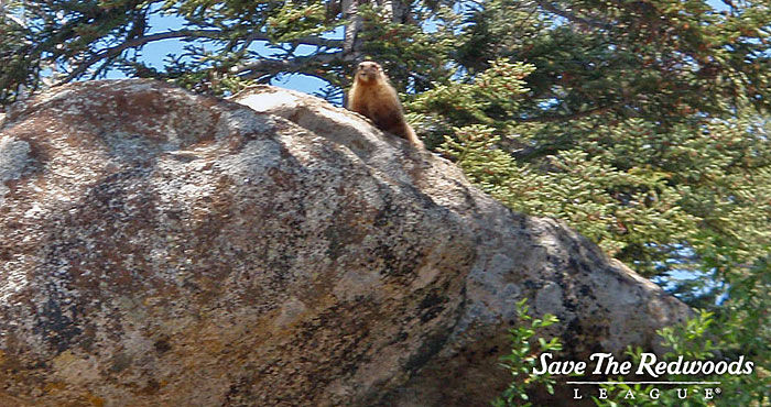 Try to find a marmot next time you visit the sequoias.