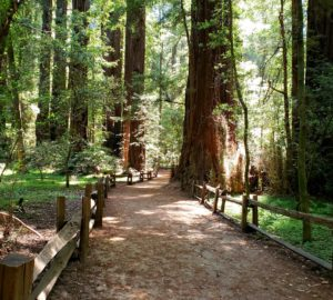 Redwood Grove Loop trail at Henry Cowell Redwoods SP