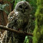Owl in Muir Woods. Photo by Scott Wright, winner of 1st place in the 2013 Know Wonder Online Photo Contest