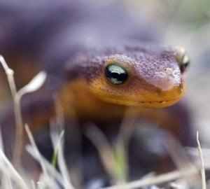 California newt, by John Wright