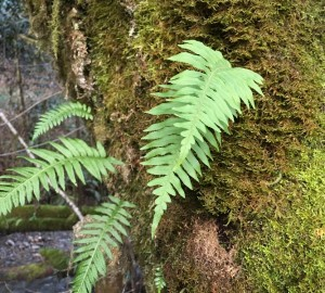 Licorice ferns in Prairie Creek Redwoods State Park.