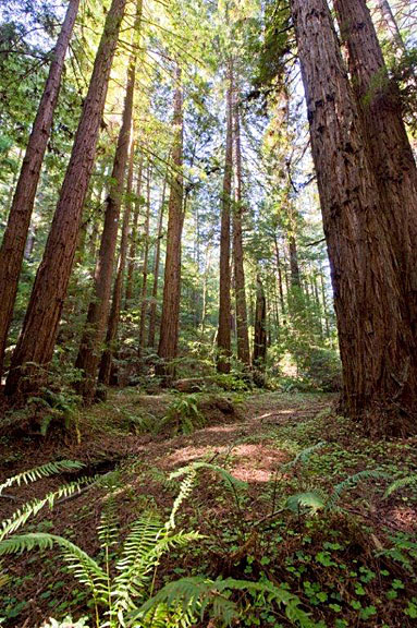 Loma Mar Redwoods is home to  giant coast redwoods. Photo by Paolo Vescia