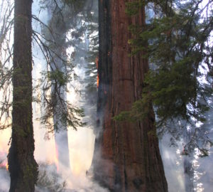 Thick bark enables giant sequoia to withstand lower-severity ground fires