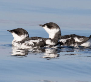 A pair of marbled murrelets, small birds with black and white feathers, float together on the ocean.