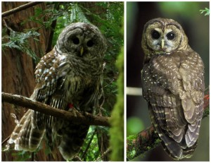 Barred owl on left, spotted owl on right.