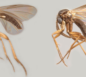 Peter H. Kerr recently found two new species of fungus gnats: Azana malinamoena and Azana frizzelli.