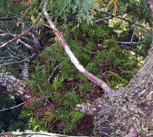The evergreen fern Polypodium scouleri grows in thick mats high above the ground. Photo by Stephen Sillett, Institute for Redwood Ecology, Humboldt State University