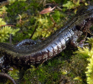 Wandering salamander. Photo by Dan Portik