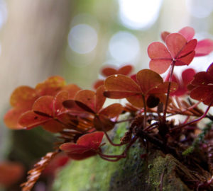 Close up view of Redwood sorrel growing on a mossy log. The background is out of focus, giving an atmospheric feel of dappled light shining through the canopy.
