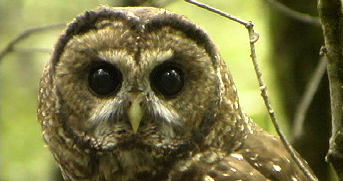 A study found that thinned areas supported higher populations of prey species for the endangered northern spotted owl (pictured) and the rare Humboldt marten.