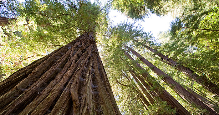 You can help protect Peters Creek Old-Growth Forest (pictured), a rare ancient  forest in the Santa Cruz Mountains. Photo by Paolo Vescia