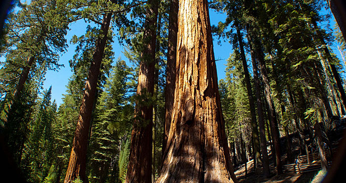 A League-funded project by Robert York and William Stewart of the University of California will contribute to the basic understanding of how giant sequoia forests like this one respond to disturbances such as fire. Photo by iriskh, Flickr Creative Commons