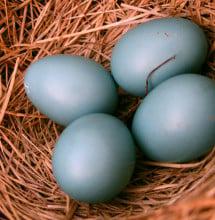 Robin eggs.