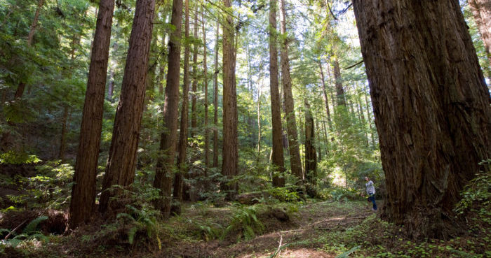 Phleger Estate offers trails through a lovely younger redwood forest like this one.