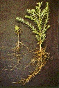 Redwood seedlings with and without mycorrhizae. Photo credit:   Mike Amaranthus, USDA