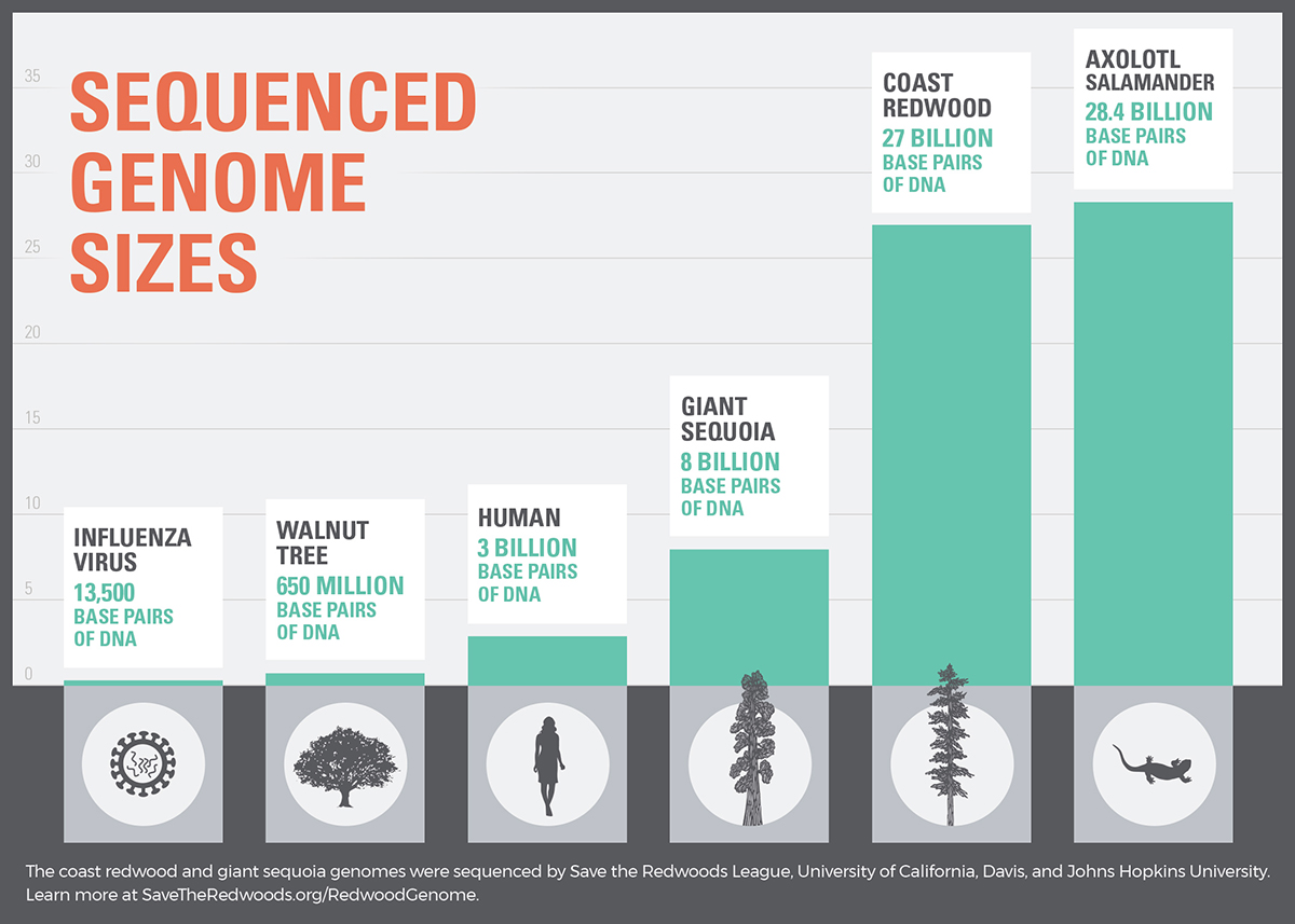 Sequenced Genome Sizes: The coast redwood and giant sequoia genomes were sequenced by Save the Redwoods League, University of California, Davis and Johns Hopkins University.
