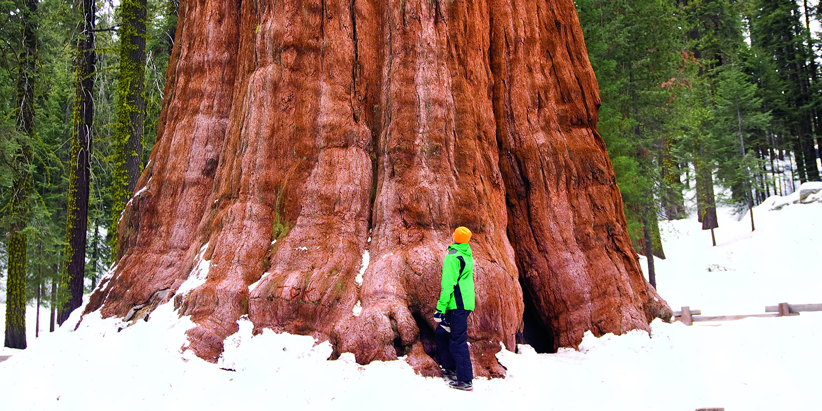 Giant Sequoia Save The Redwoods League